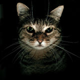 Portrait of Tabby Cat. With black background stock photo