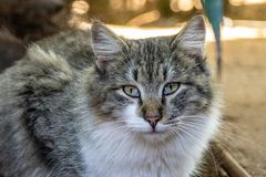 Portrait of tabby cat royalty free stock images