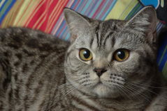 Portrait of a tabby cat Stock Images