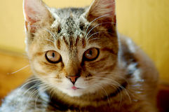 Portrait of tabby cat. Portrait of cute tabby cat Stock Photos