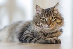 Portrait of tabby cat  Stock Images