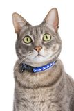 Portrait of a tabby cat. Against white background royalty free stock photography
