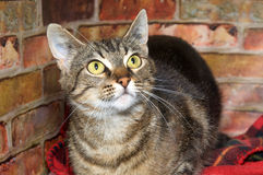 Portrait of a tabby cat in bed looking up. One brown and tan tabby cat with yellow eyes laying in blankets next to a brick wall, looking up and to viewers right Royalty Free Stock Photos