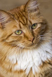 Portrait tabby cat Royalty Free Stock Photo