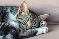 Portrait of a tabby cat curled up asleep royalty free stock image
