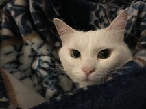 Portrait of tabby cat. Portrait of domestic short hair white tabby cat wrapped in blanket indoors royalty free stock photos