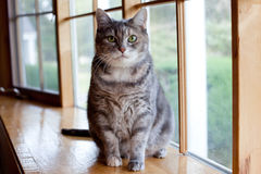 Portrait of a tabby cat Royalty Free Stock Photo