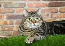 Portrait of a tabby cat laying in grass. Portrait of one obese black and brown tabby cat with yellow eyes laying in green grass in front of a brick wall looking Royalty Free Stock Photography