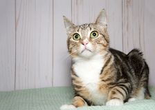Portrait of a surprised tabby cat on a green blanket at home royalty free stock image