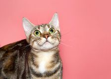 Portrait of a tabby cat looking up. Portrait of a black, brown and white tabby cat looking straight up above viewer with wide eyes. Attentive tracking expression stock photo