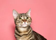 Portrait of a tabby cat looking up. Portrait of a black and brown tabby cat looking up to viewers left with calm inquisitive curious expression. Pink background royalty free stock photography