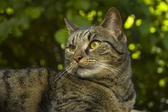 Portrait of a tabby cat. Tabby cat resting under tree in garden Royalty Free Stock Photos
