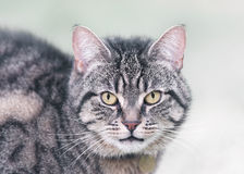 Portrait of a Tabby Cat in Winter Royalty Free Stock Photography