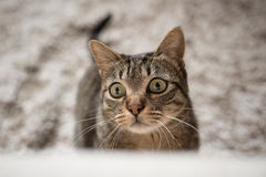 Portrait of a tabby cat woth funny expression Royalty Free Stock Photo