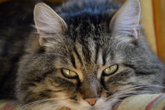 Portrait of a tabby domestic cat Royalty Free Stock Photography