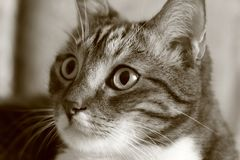 Portrait of a tabby domestic cat in the room close-up. Monochrome image Stock Image