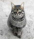 Portrait of a tabby gray cat Royalty Free Stock Images