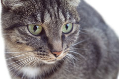 Portrait of tabby green-eyed cat Stock Photography