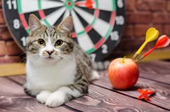 Portrait of a tabby cat against the background of a circle of darts royalty free stock image