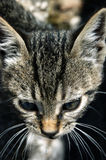 Portrait of tabby kitten Stock Photo
