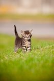 Portrait of a tabby kitten outdoors Royalty Free Stock Images