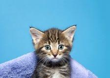 Portrait of a tabby kitten peeking out of a blanket royalty free stock photo