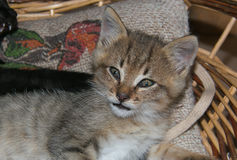 Portrait of tabby little cat Stock Images