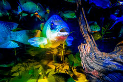 Portrait of Talapia in a fish tank Stock Photos