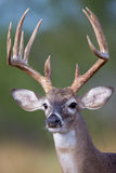 Portrait of tall typical whitetail buck Stock Photos