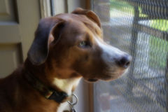 Portrait of Tan Dog Staring out Screen Door Royalty Free Stock Image