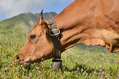 Portrait Tarine cow grazing Stock Images