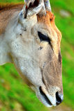 Portrait of a Taurotragus oryx Stock Image