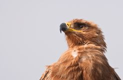 Portrait of a Tawny Eagle Stock Images