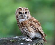 Portrait of a Tawny Owl Royalty Free Stock Photo