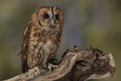Portrait of a Tawny Owl Stock Images