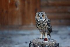 Portrait of a tawny owl. (Strix aluco stock photos