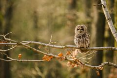 Portrait of tawny owl, Strix aluco, in a forest. Portrait of tawny owl, Strix aluco, with dark black eyes and white and brown feathers sitting on branch in the royalty free stock photography