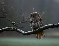 Portrait of a Tawny Owl (strix aluco) Stock Photo