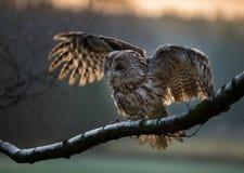 Portrait of a Tawny Owl (strix aluco) Royalty Free Stock Photos