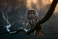 Portrait of a Tawny Owl (strix aluco) Royalty Free Stock Images