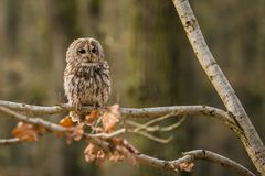 Portrait of tawny owl, Strix aluco, sitting on branch. Portrait of tawny owl, Strix aluco, with dark black eyes and white and brown feathers sitting on branch in royalty free stock photography