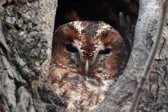 Portrait of a Tawny Owl on a tree Royalty Free Stock Photos