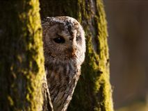 Portrait of tawny owl between two trees - Strix Aluco Stock Image