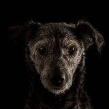 Portrait of a terrier dog Royalty Free Stock Image