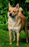 Portrait of terrier type dog. Frontal shot of alert,little terrier type dog Stock Image