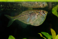 Portrait of tetra fish (Gasteropelecus sternicla) in aquarium Royalty Free Stock Photo