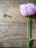 Portrait Texture Wood and Pink Flower Background. Feminine Pink Flower on rustic wood background texture. Stem is green and wood is brown. Photograph is oriented Royalty Free Stock Photography