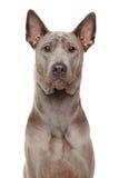 Portrait thaïlandais de plan rapproché de chien de Ridgeback photo stock