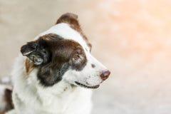 Portrait Thai bangkaew dog Royalty Free Stock Photography