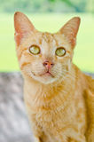 Portrait of Thai cat Stock Photo